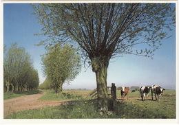 Nederlandse KOEIEN - Knotwilg  - (Holland) - Vache/Cow/Kuh & Arbre Tétard/Pollard Willow/Kopfweide - Mucche