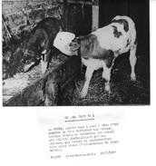 M. FEVRE CULTIVATEUR A AVOT (21) - SON VEAU ALLAITE PAR LA CHIENNE DE LA FERME -  2 PHOTOS DE PRESSE 15.05.57 - Métiers