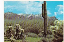 Cactus Saguaro & Teddy Bear Cholla Superstition Mountains Arizon
