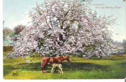 A Mother Horse And Colt  In Canada's Glorious Spring Time - Pferde