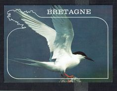 STERNE - Roseate Tern - Rosenseeschwalbe - Non Circulé - Not Circulated - Nicht Gelaufen. - Oiseaux