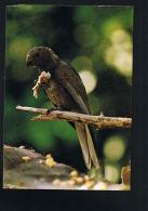 SEYCHELLES -Black Parrot  Praslin - Peroquet Noir Preslin  -Photo By David James -Paypal Sans Frais - Seychelles