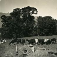 Autriche Tyrol Troupeau De Moutons Ancienne Stereo Photo NPG 1900 - Stereoscopic