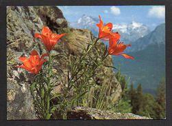 Fleurs,blumen,flowers,flores / Le Lis Orangé,fleur Des Montagne - Fleurs