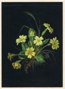 Primula (Schlüsselblume, Primrose, Primevère), Tuschezeichnung Auf Karton, Künstler Unbekannt. - Autres Collections