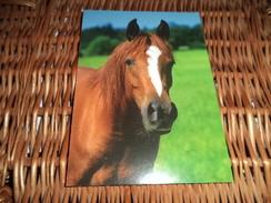 Pferd Postkarte Leko - Pferde