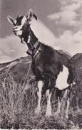 73 _ LA CHÈVRE DE SAVOIE - 2 CARTES DIFFÉRENTES - Tierwelt & Fauna
