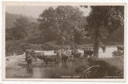 Highland Cattle, Shady Glen, 1909 Postcard - Scotland