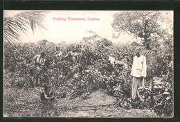 CPA Ceylon, Cutting Cinnamon, Bauern - Cultures