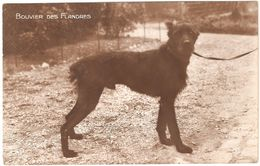 Bouvier Des Flandres - Chenil Berger-Policier - Carte Photo / Foto - éd A.N. Paris 'Les Races Canines' - Dogs