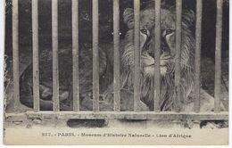 CPA 75 ( Paris ) - PARIS - Museum D'Histoire Naturelle - Lion D'Afrique - Lions