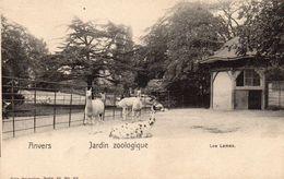 ANVERS  -   Jardin Zoologique  -  Les Lamas - Antwerpen