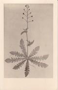 AK Pflanzenzeichnung - Ca. 1940  (30287) - Blumen