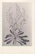 AK Pflanzenzeichnung - Ca. 1940  (30288) - Blumen