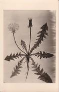 AK Pflanzenzeichnung - Ca. 1940  (30289) - Blumen