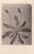 AK Pflanzenzeichnung - Ca. 1940  (30290) - Blumen