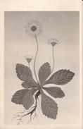 AK Pflanzenzeichnung - Ca. 1940  (30291) - Blumen