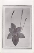 AK Pflanzenzeichnung - Ca. 1940  (30292) - Blumen