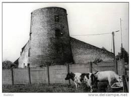 MAZENZELE Bij Opwijk (Vlaams-Brabant) ~ Molen/moulin - Fraaie Opname Van De Romp Van De Koutermolen (met Koeien) - Opwijk
