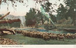 Watering Sheep , New South Wales  - 2 Scan - Australie