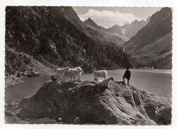 CAUTERETS--1955--Le Lac De Gaube,au Fond Le Vignemale (3298m)--(animée , Chèvres En Beau Plan)....à Saisir - Cauterets