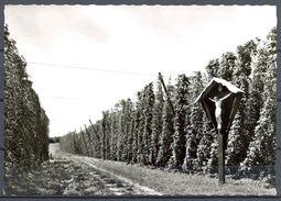 ALEMANIA , CAMPOS DE LÚPULO , TEMA AGRICULTURA , CERVEZA , BREWERIANA , TARJETA POSTAL SIN CIRCULAR - Agricultura