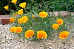 40 GRAINES DE PAVOT DE CALIFORNIE - 2. Seeds
