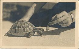 Real Photo Tortoise Fed By Woman . Carte Photo Tortue Nourrie Par Une Femme - Schildpadden