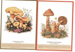 CANTHARELLUS CIBARIUS CORTINARIUS SPECIOSISSIMUS  FUNGHI MUSHROOMS CHAMPIGNONS  PILZ SETAS - Funghi