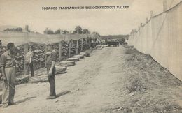 Tobacco Plantation In The Connecticut Valley.   S-3852 - Tabaco