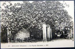 ARBRE NOMME 29 ROSCOFF LE FIGUIER SECULAIRE - Landbouw