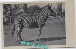 CPA- Animaux & Faune Zèbre. - Zebras