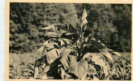 UN BEAU PLANT DE TABAC RECOLTE DE 1947 Avril-Loiseau Frahan S/Semois Belgique - Tabac
