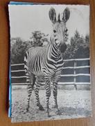 Dierentuin, Zoo / Hartmanns Bergzebra In Tierpark --> Beschreven - Zebras