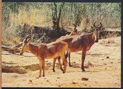 °°° 6596 - NIGERIA - YANKARI GAME RISERVE - WESTERN HARTEBEESTS - 1983 With Stamps °°° - Nigeria