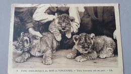 CPA LION LIONCEAUX NES AU  PARC ZOOLOGIQUE PARIS BOIS DE VINCENNES ZOO - Lions