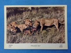 CARTOLINA FORMATO GRANDE NON VIAGGIATA AFRICA FAUNA AFRICANA LEONE PHANTERA LEO - Lions