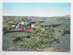 Postcard Vine Cultivation / Harvest La Geria Vendimia Lanzarote Canary Islands PU 1980 My Ref B21852 - Vines
