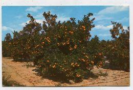 USA - AK302526 Florida - Orange Groves In Central Florida - Stati Uniti