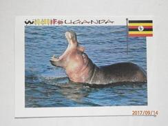 Postcard Wildlife Uganda Close Up Of Hippopotamus PU 2008 My Ref B21921 - Uganda