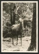HIRSCH Im Nationalpark Cerf Deer Cervo 1950 - Animaux & Faune
