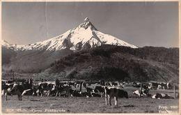 """06509 """"CHILE - CERRO PUNTIAGUDO""""  MUCCHE AL PASCOLO, FOTO MORA.  CART SPED - Chile"""