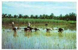 VIET-NAM - A COUNTRY LANDSCAPE / RICE FIELDS - Vietnam