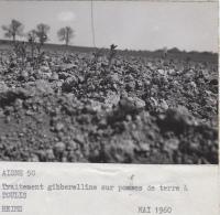 Agriculture - Agronomie - Toulis-et-Attencourt  Aisne - Gibberelline Sur Pommes De Terre - Lot De 3 Photographies - Cultures