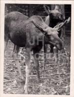 Moose - Photo - Estonia USSR - Unused - Photos