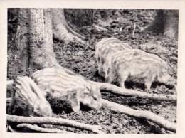 Wild Boar - Photo - Estonia USSR - Unused - Sonstige