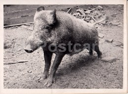 Wild Boar - 2 - Photo - Estonia USSR - Unused - Autres