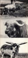 Antelope - Kaffir Buffalo - Watusi Bull - Askania-Nova Reserve - 1974 - Ukraine USSR - Unused - Ukraine