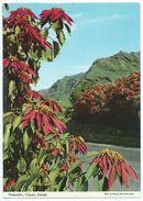 Poinsettia, CANARY ISLANDS - Flor De Pascua: La Decorative Flor De Pascua Sale Al Paso... - Non écrite -Scan Recto-verso - Espagne