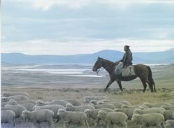 Falkland Islands Fred Coutts Driving Lambs In West Falklands  Postcard Unused (36834) - Falkland